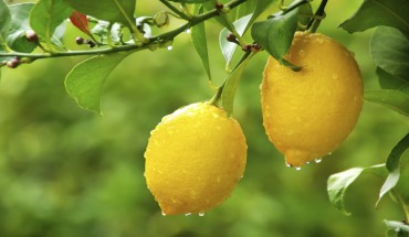 Close up of fresh  lemon on a tree with water dropes on it.